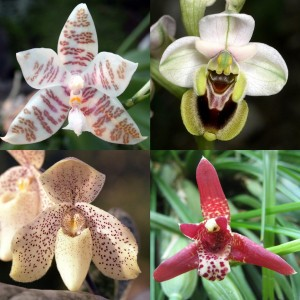 PhalaenopsisOphrysPaphiopedilumMaxillaria